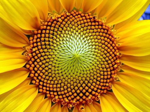 fibonacci-sunflower.jpg